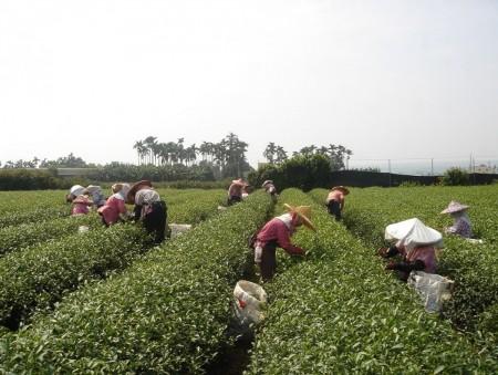 慈耕茶園採茶1