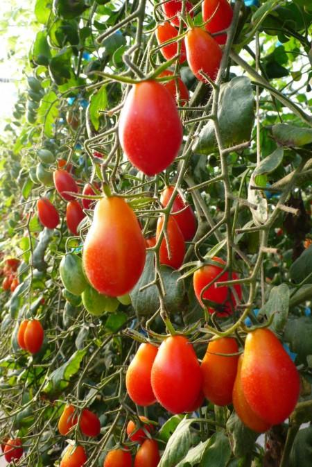 藍吉助番茄05