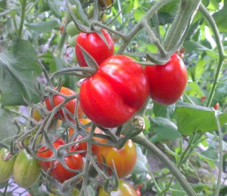 采紅番茄01