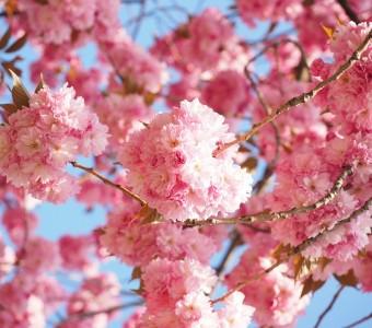 漫步日本櫻花下,在春日做一場粉色美夢(上)