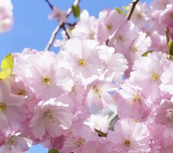 漫步日本櫻花下,在春日做一場粉色美夢(下)